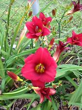 "Gorgeous Daylily ""Little Red Riding hood "" X Division Abundant Flowers Showy !!!"