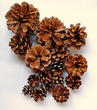 50 Assorted Size New Hampshire Pine Cones
