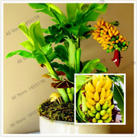 100 PCS Seeds Banana Bonsai High Nutrition Sprouting Fruit Plants Home Garden V