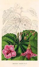 "Van Houtte's Horto Van Houtteano - ""ABUTILON INSIGNE, PLANCH"" - Chromo - 1850"