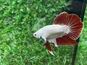 Live Betta Fish - Male - Fancy Dragon Betta HMPK , Age 4 month From Thailand