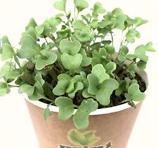 1200 Broccoli Seeds Grow Kit Microgreens Farm Planter Bio Organic Sprouting 4g