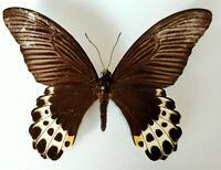 Papilio lampsacus JAVA A2 male - Ex collection Le Moult - Entomologie