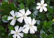 Gardenia Jasminoides Annual Seeds