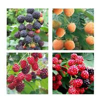 50pcs framboise graines de fruits graines de framboise jaune rouge noir