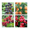 50pcs Raspberry Seeds Fruit Seeds Red Yellow Black Raspberry Seeds For home BH