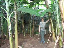 Faser Bananen Palmen winterhart Baum ganzjährig exotisch immergrün Pflanze Samen