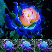 100Pcs Wholesale Beautiful Blue-Pink Rose Flower Seeds Home Garden Plants Rare
