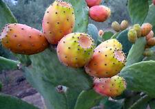20 FRESH SEEDS Opuntia ficus-indica,Indian fig opuntia,Cacti/Succulents