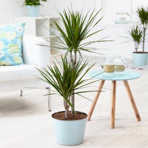 "Tropical Dragon Tree ""Draceana Marginata"" Indoor Houseplant Supplied in 13cm Pot"
