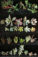 Best Selling Combo 20 Variety Succulent Cutting PLUS 10 Sempervivum package