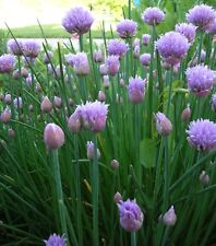 Chives Seeds- Herb Seeds- 300+ 2018 Seeds       $1.69 Max. Shipping per Order!