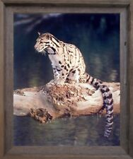 Snow Leopard Exotic Big Cat Wildlife Animal Wall Decor Barnwood Framed Picture