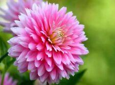 US-Seller 100Pcs Pink Dahlia Seeds Dahlia Pinnata Garden Flowers S045-2