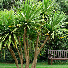 Cordyline australis | Cabbage Palm Tree | Torbay | 20 Seeds