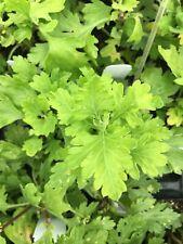Chrysanthemum morifolium JU HUA ornamental, medicinal hardy perennial