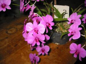 Dendrobium Biggibum Rolander x Den. Biggibum Sunset