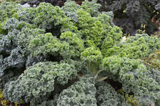 600+VATES BLUE CURLED SCOTCH KALE Organic Non-GMO Spring / Fall / Winter Garden