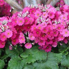 Fairy Primrose Pink Flower Seeds (Primula Malacoides) 50+Seeds