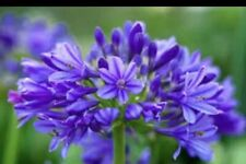 Agapanthus 'Brilliant Blue' 9cm Plant. Very Hardy National Collection Holders