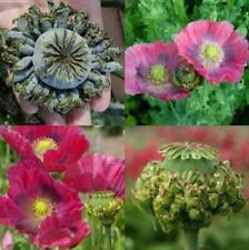Papaver Poppy HENS AND CHICKS POPPY Hens and Chicks ~ 500 (0.25g) Seeds