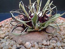 Brachystelma Barberae ~ Spectacular Caudiciform ~ Extremely Rare ~ 2 Seeds ~