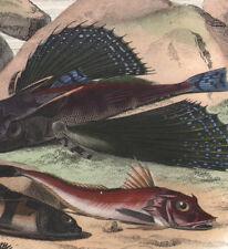 1839 Gravure originale Chétodon Trigle lyre Centronote pêche poissons exotiques