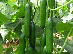 "Cucumber Seeds ""Muncher Burpless"" (15 Seeds) High Productive Variety...."