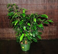 "LARGE Mature Ficus Benjamin Weeping Fig Tree Bonsai Tree Shipped in 6"" Pot 28"