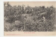 South Africa, Among The Pine Apples Postcard, B030
