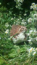 110+ Scarlet/Range Coturnix Quail Hatching Eggs By Myshire! Includes Tuxedo!