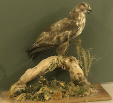 Taxidermy Vintage Pre1947 Large Buzzard On Natural Base