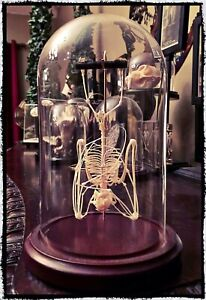 Hanging Bat Skeleton Dome - Taxidermy, Oddities, Macabre, Occult, Witchcraft
