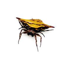 Blunt-spined Kite Spider (gasteracantha sturi) Indonesian Specimen