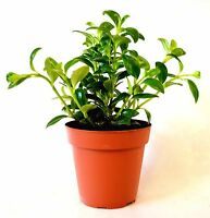 """Goldfish Plant Columnea Gloriosa Plant 4"""" Pot Blooms Constantly Gift Holiday !!!"""