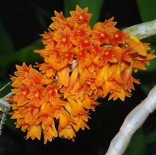 Dendrobium bullenianum orchid species plant