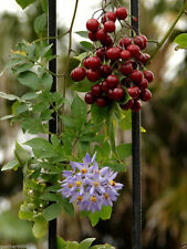 Brazilian Nightshade Solanum seaforthianum Ornamental 20 Seeds