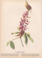 "1942 Vintage AUDUBON BIRDS #78 ""CAROLINA WREN"" Color Art Plate Lithograph"