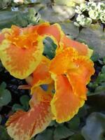 2 Water canna lily 0range / yellow.& bog, marginal Pond Plant