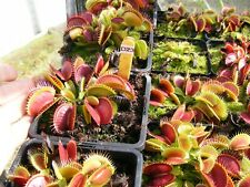 "Carnivorous Plant - Dionaea muscipula ""D23"""