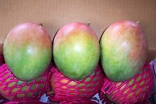Keitt mango variety grafted live fruit tree from Puerto Rico