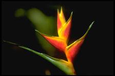 328094 Bird Of Paradise Ocho Rios A4 Photo Print