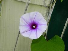 Lavender Moonvine Ipomoea Muricata Evening Glory 5 Seeds