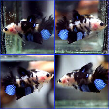 New listing Live Betta Fish Fancy Shiro Bekko Koi Halfmoon Plakat Hmpk Male C247