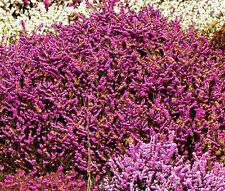 CALLUNA SCOTCH HEATHER Calluna Vulgaris - 200 Bulk Seeds