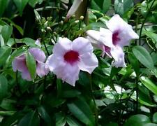 Pandorea jasminoides Pink Bower of Beauty 50 seed Australian Rainforest native