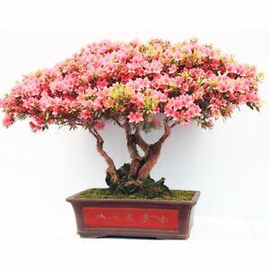 Rhododendron schlippenbachii (Royal Azalea) 20 Tree Seeds •RARE Bonsai Garden UK