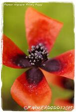 Papaver argemone 'Prickly Poppy' 300+ SEEDS