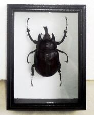 Megasoma actaeon male (large) in frame of real wood !!