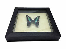 Graphium sarpedon Real Butterfly in wood Shadowbox Mount- black